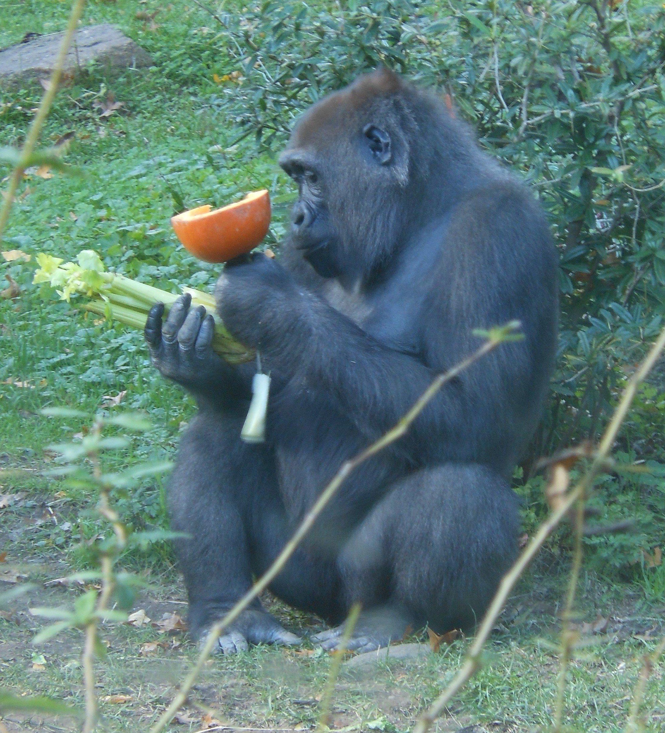 Gorilla For One Gor E