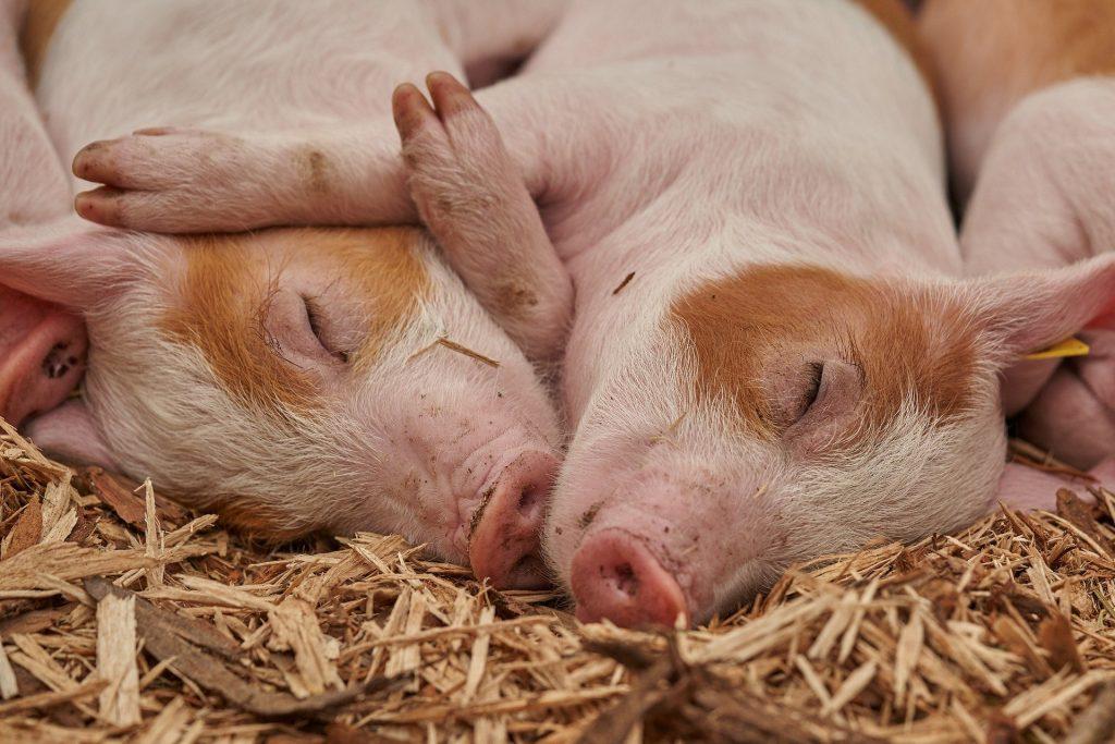 Cuddling pigs