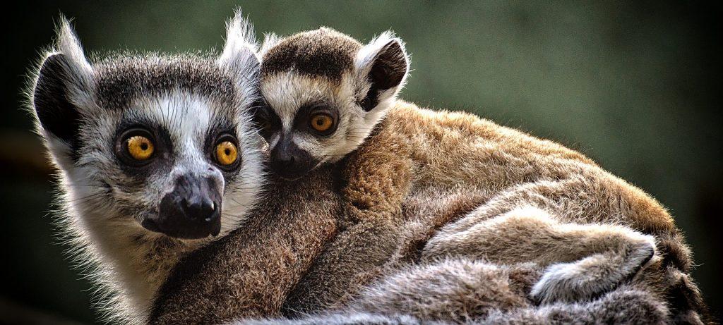 mama and baby lemur