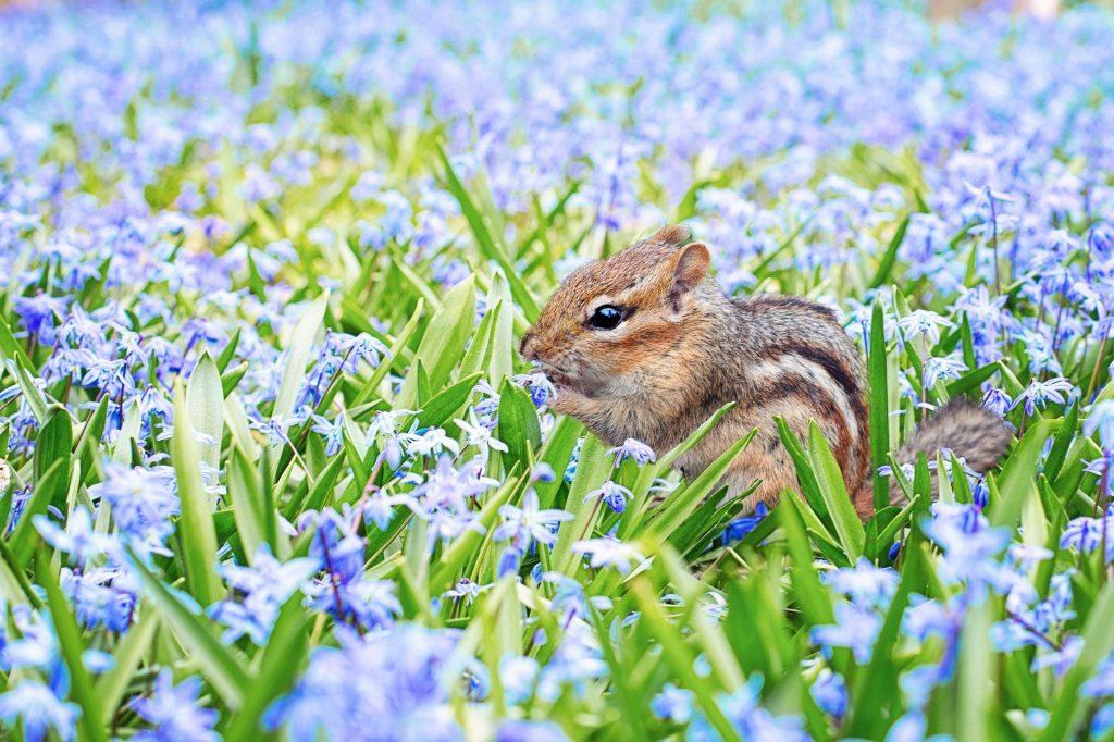 Chipmunk in flowers
