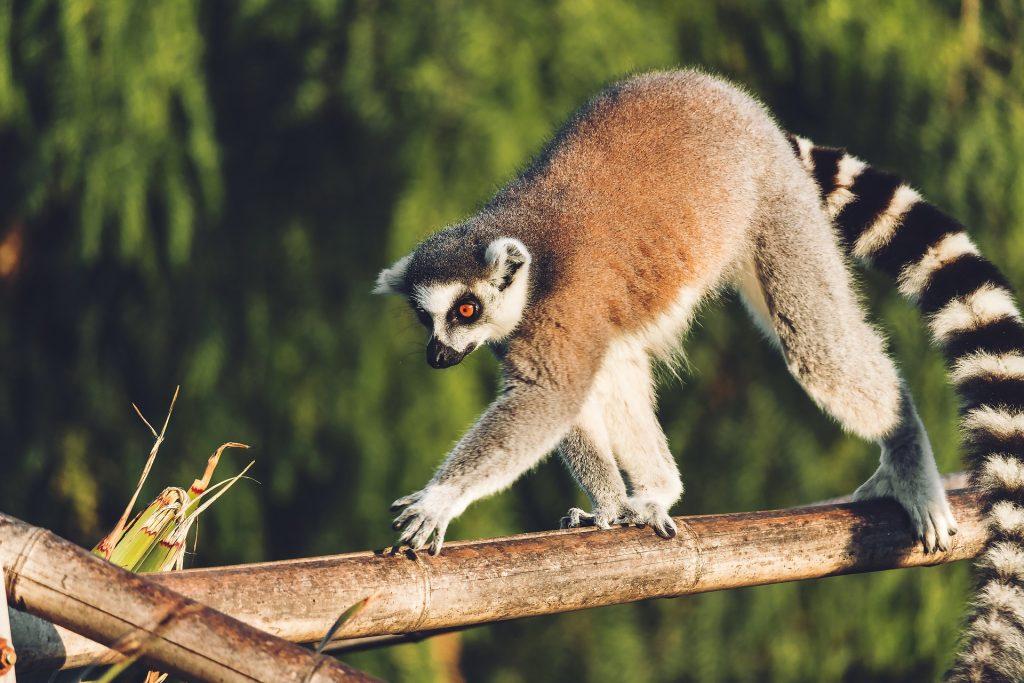 Lemur walking across a tree branch