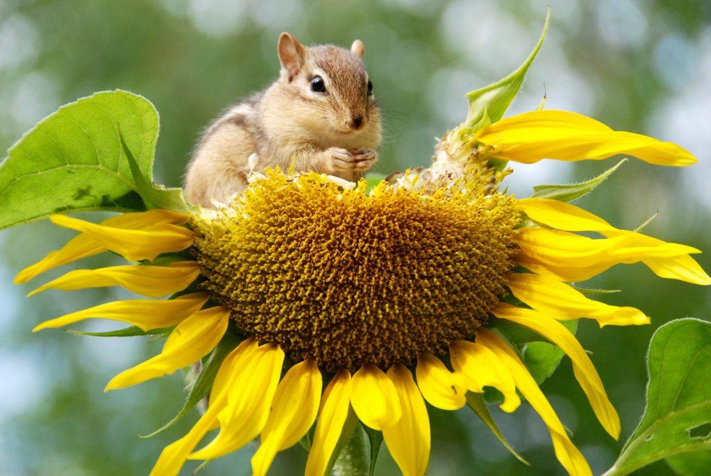 chipmunk eating sunflower seeds