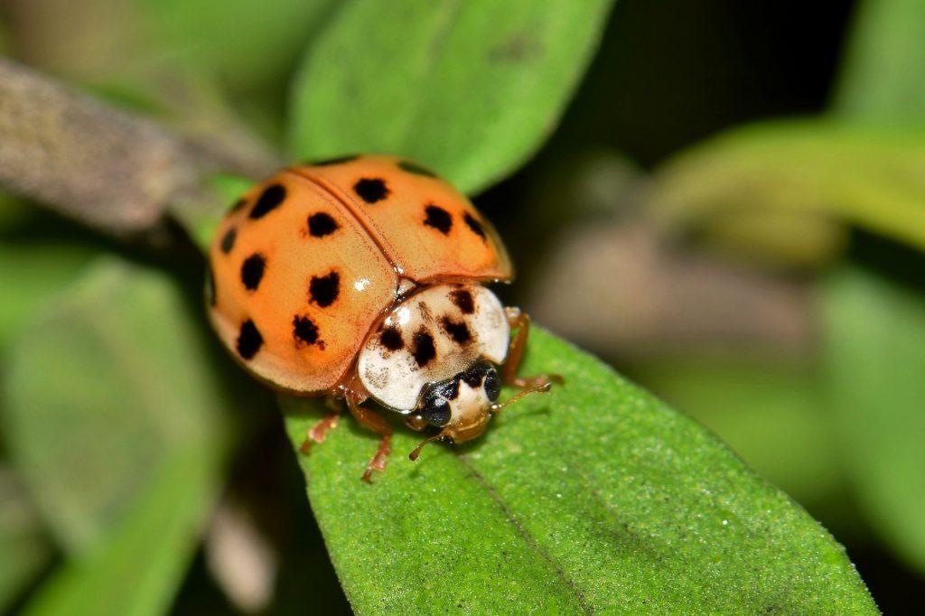 Orange ladybug on a leaf